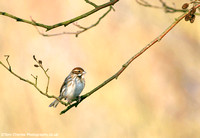 Reed Bunting - female