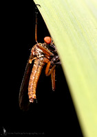 Empid Fly and Prey