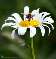 Bee Hoverfly