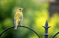 Greenfinch - male (summer)