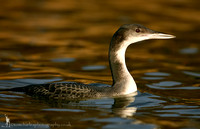 Great Northern Diver - winter