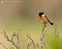 Stonechat - male