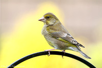 Greenfinch - female (summer)