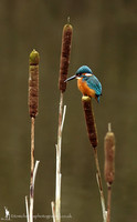 Bulrushes and KingFishers