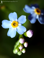 Tomorrows Blossom (Forget-me-not)