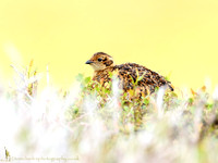 Red Grouse - Juvenile
