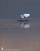 Great White Egret