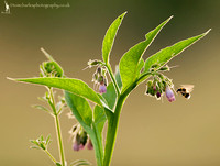 Bee and Comfrey